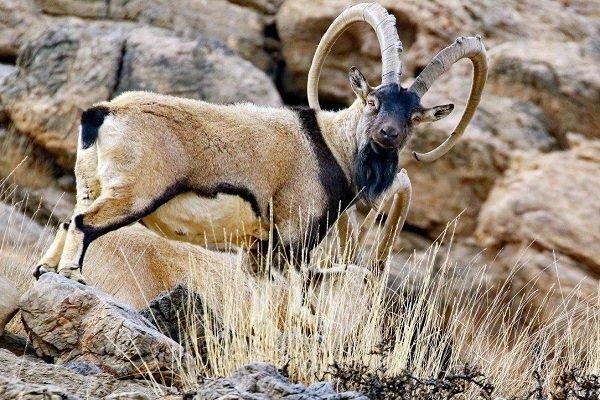 هشدار نسبت به ورود بیش از حد شکارچیان به منطقه عمارلوی رودبار